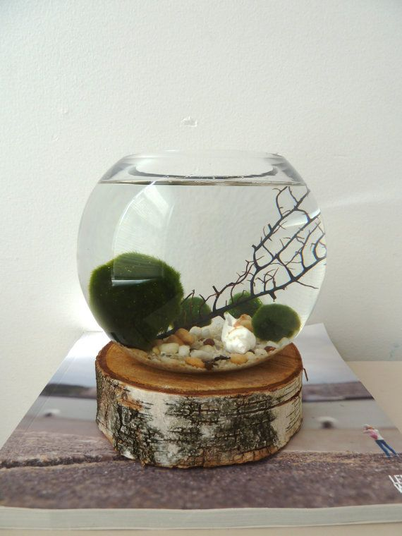 These are so cute. Little moss balls called Marimo and people in japan actually keep them as pets like pet rocks. I might need to get one for my betta or get one in a cute little tank!