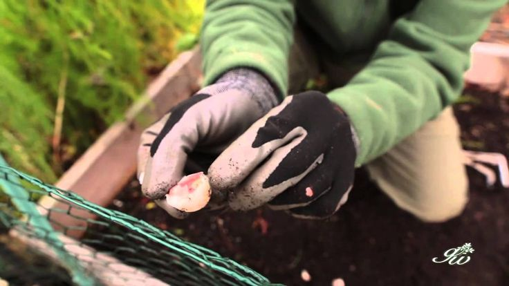 Learn how and why you should grow garlic during fall.