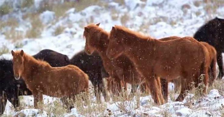 Άγρια άλογα στις χιονισμένες βουνοκορφές της Ελλάδας. Ένα υπέροχο βίντεο! Crazynews.gr