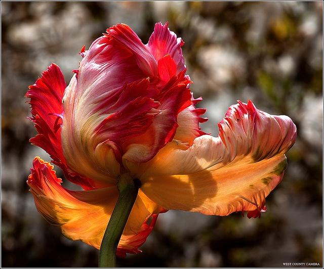 Parrot tulip...