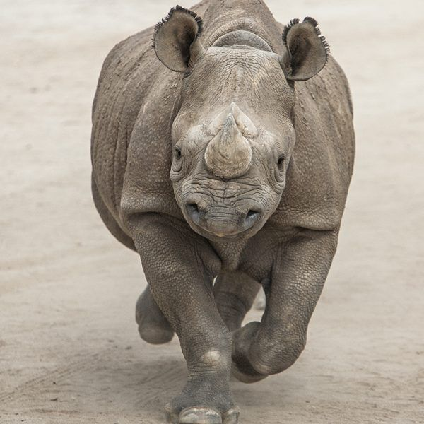 The rhinoceros is the second-largest land mammal, behind the elephant. These stocky, Land Rover-sized vegetarians once numbered over 500,000, but they have been reduced to about 29,000 in recent years, largely due to humans' appetite for their... #rhinos #sandiegozooglobal #sandiegozoosafaripark