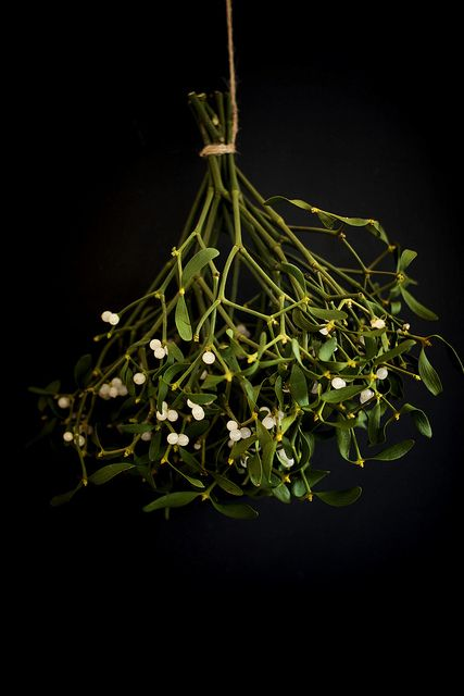 Celtic Mistletoe Lore: Five days after the first new moon following the winter solstice, Druid priests cut mistletoe with a golden sickle from a special oak tree and had to catch the mistletoe before it hit ground. The plant was distributed among the people to hang over their doors for protection against evil in the coming year.