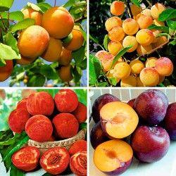 Беккер - Суперпредложение! Комплект  плодовых деревьев Фруктовый сад из 4-х саженцев