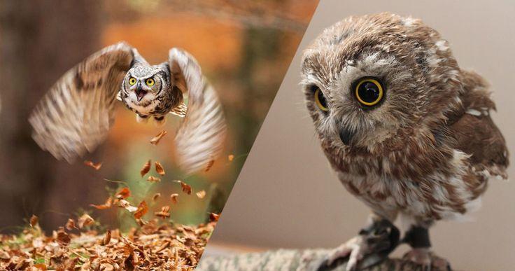 Les chouettes et les hiboux alimentent les légendes depuis la nuit des temps. Ces fascinants oiseaux, souvent nocturnes, ont les yeux perçants et un plumage très varié selon les espèces. Pour vous montrer à quel point ces rapaces sont tout aussi majestueux q