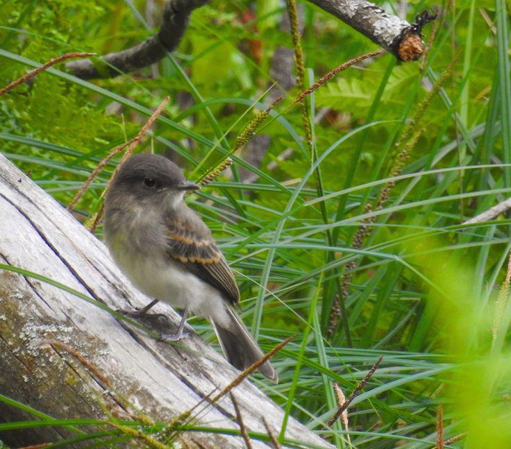 Bedford Audubon Society » Eastern Phoebe & Wood-Pewee