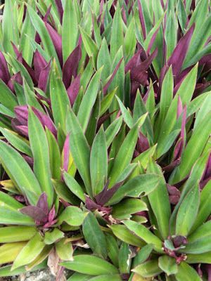 Moses-in-a-Basket Tradescantia spathacea at Orchid World & Tropical Flower Garden in Barbados