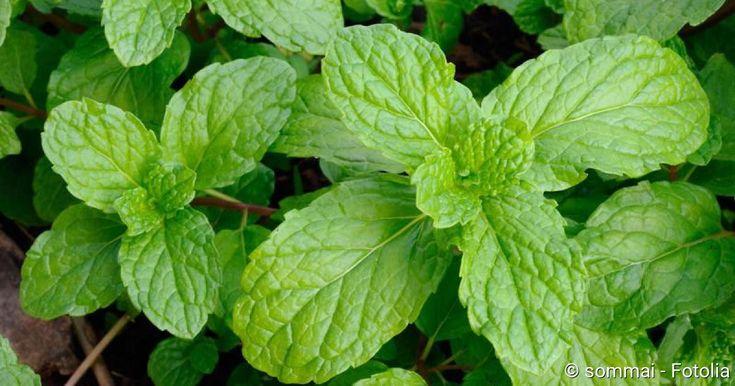 Heilpflanzen wirken sanft gegen Magen-Darm-Probleme. Erfahren Sie hier, welche Heilpflanze bei welcher Beschwerde hilft!