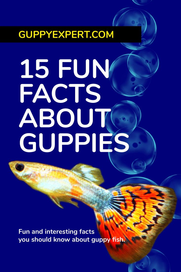 15 Fun Facts About Guppies Guppy Fish Guppy Tropical Freshwater Fish