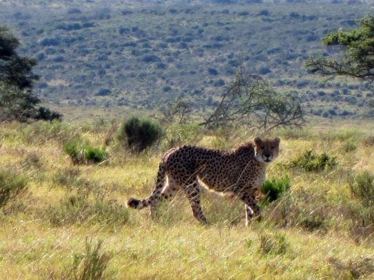 Cheetah, genomen in Zuid-Afrika, Oost-Kaap in Pumba Game Reserve tijdens een game drive in de ochtend. Ik heb gewacht tot de cheetah zijn kop naar ons toe draaide. En dit is dus uiteindelijk gelukt. Door communitylid esmeraldagroen - NG ReisCommunity ©