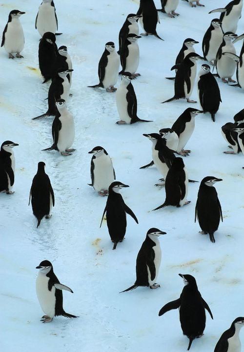 pinguinos by Marcello Gurruchaga