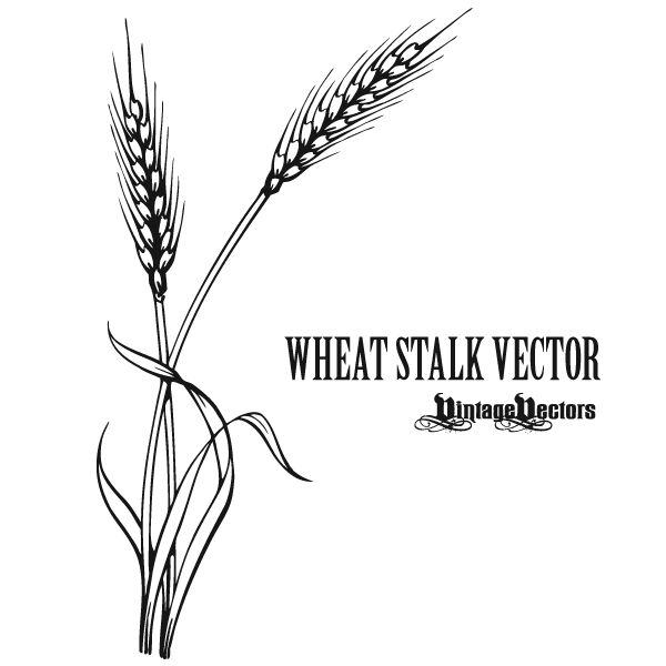 Vector Drawing Lines Html : Best ideas about wheat tattoo on pinterest left arm