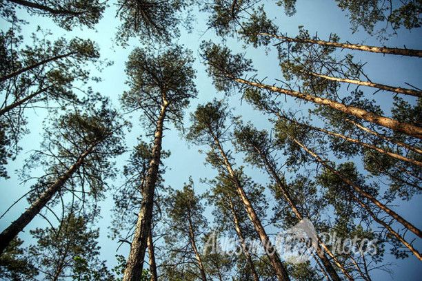 91-awesomefreephotos-forest-sky-spruce-nature-750