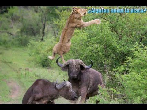 AFRICA 👅👍 Leon US  bufalo,PELEAS DE ANIMALES,ANIMALES,VIDEOS DE ANIMALES...