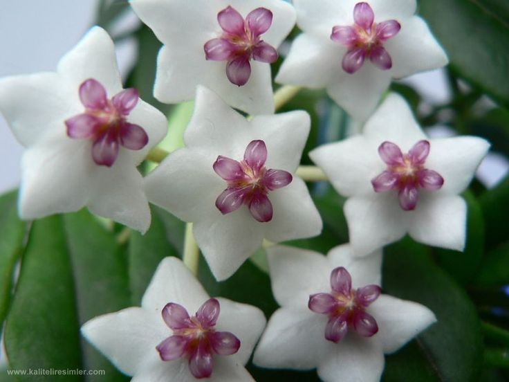 69 best The Incredible Hoya images on Pinterest | Exotische blumen ...