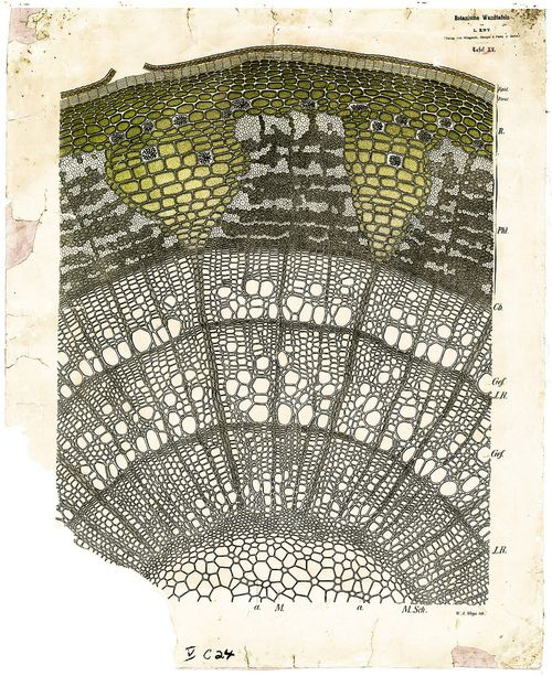 19th century plant anatomy chart - Tillia