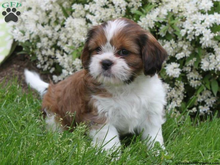 daisy patch shih tzu cava tzu puppy i need one cute stuff pinterest 4265
