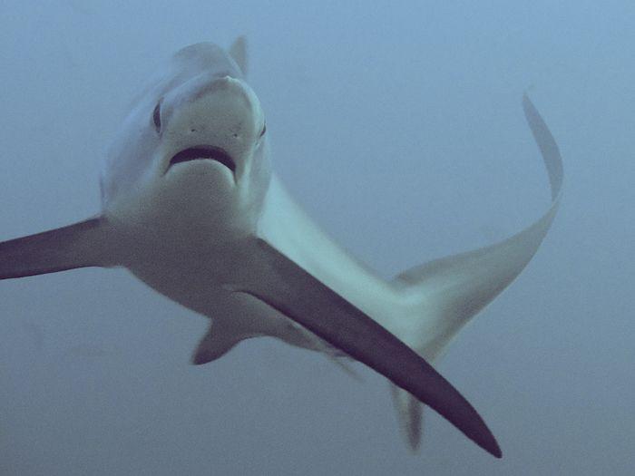 Thresher Shark | Thresher shark, Alopias vulpinus