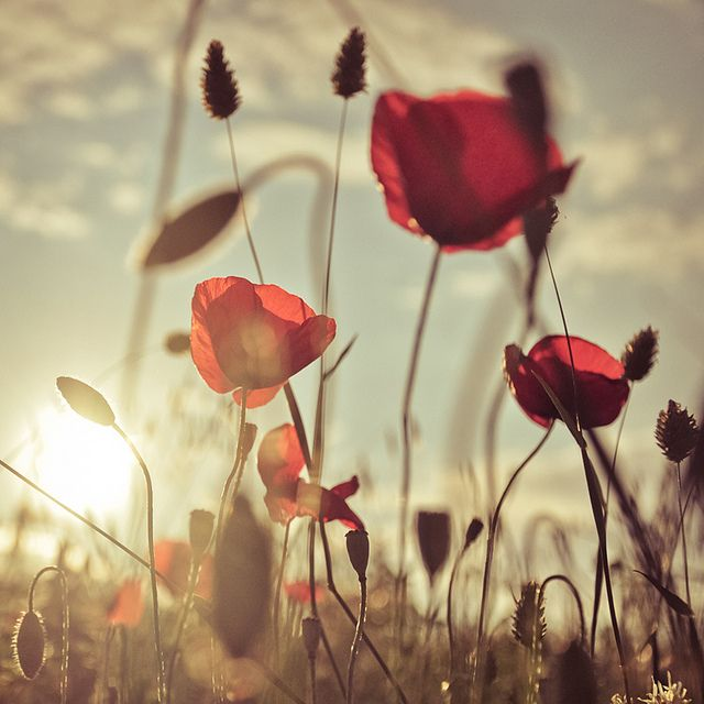 Poppies romance by Lomoody, via Flickr