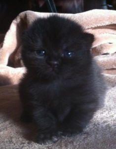 cute-cute-cute! Scottish Fold Kitten