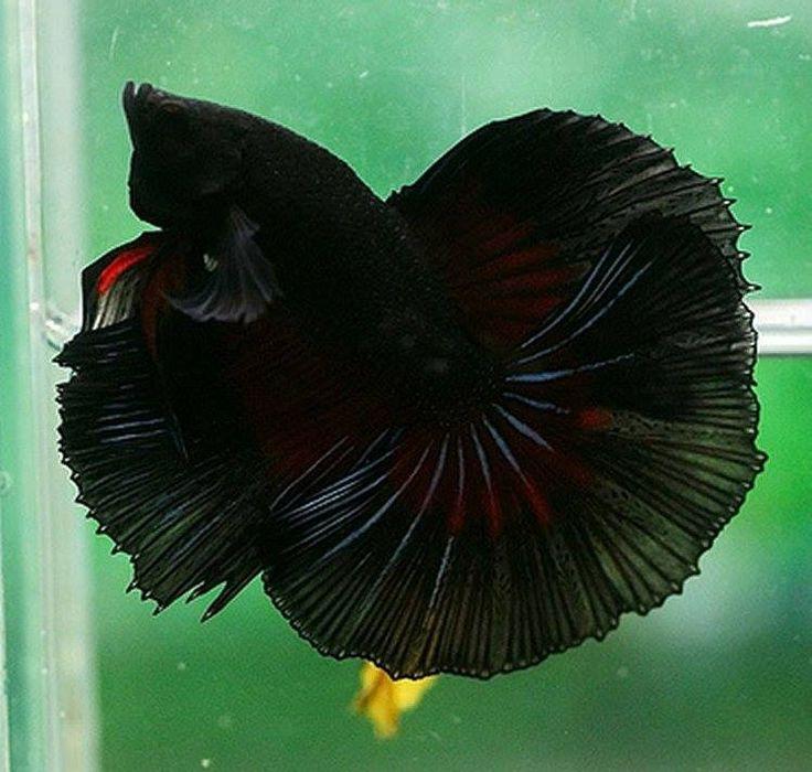 black hm betta fish | Betta Fish | Pinterest