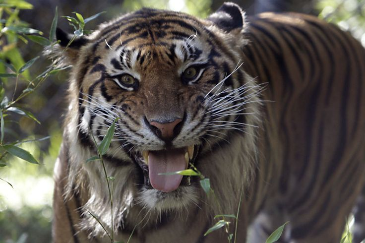 How did the global tiger population increase for the first time in a century?