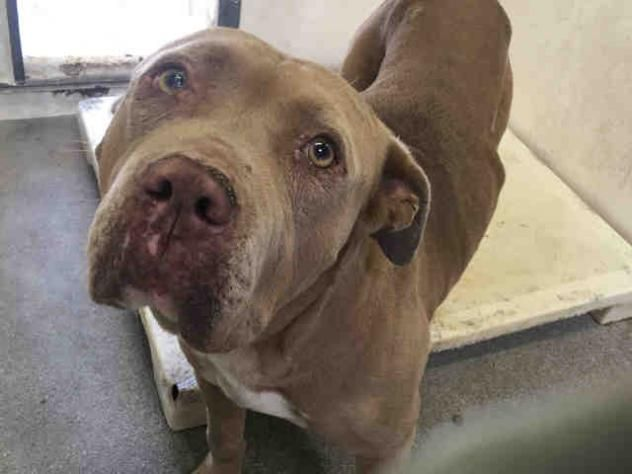 LAZY-GORDO - URGENT - L.A. COUNTY ANIMAL CARE CONTROL: CARSON SHELTER in Gardena, CA - Senior Male Pit Bull Terrier (he doesn't look senior to me, but he is rather thin)