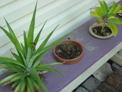 Planting Pineapple Tops - How to Grow a Pineapple Top