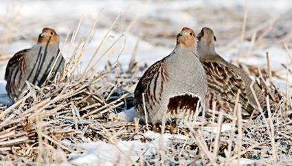 Hungarian Partridge will flush while the hunter is still 30 yards away or more, issuing a warning squawk before fleeing. Often they will flush as a covey and fly several hundred yards.