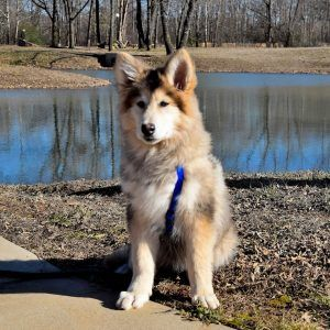 Amazing Native American Indian Dog Breeders Along With Where To Find American Indian Dogs For Sale   Dogable |  Winsome Native American Indian Dog Breeders | Cute Dog and Cat