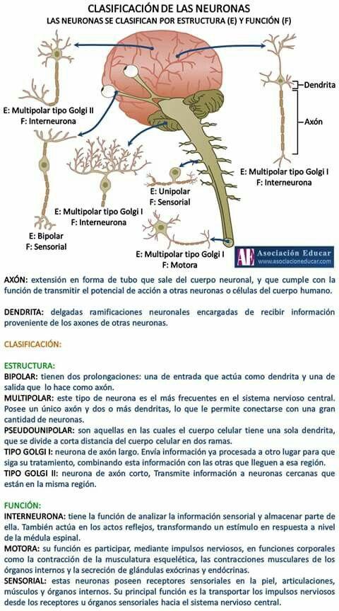 La neurona es una célula del sistema nervioso que genera y transmite impulsos nerviosos. Las neuronas están conectadas entre ellas formando circuitos neuronales. ¿Quieres saber más? Aquí toda la información. Referencia Empresarial, C. (2016). Enciclopedia Salud: Definición de Neurona. Enciclopediasalud.com. Retrieved 16 April 2017, from http://www.enciclopediasalud.com/definiciones/neurona