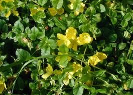 CREEPING JENNY OR MONEYWORT, LYSIMACHIA NUMMULARIA As the name Creeping Jenny suggests, this plant provides good ground cover as it trails ...