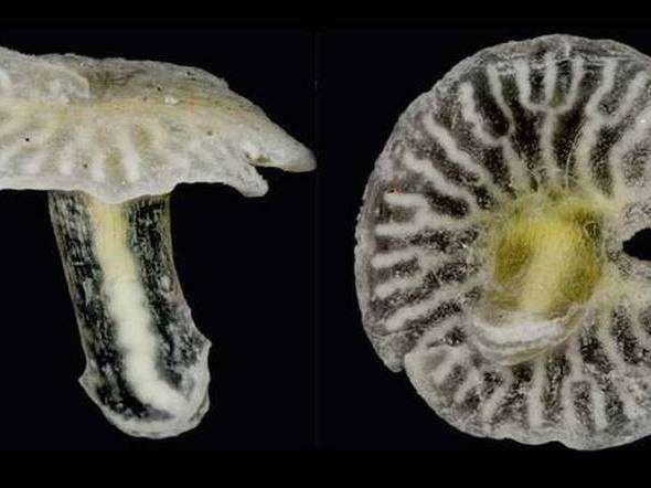 Encontrada no mar da Austrália a mil metros de profundidade, a Dendrogramma enigmatica é 1 animal multicelular parecido c/cogumelos. Seu corpo consiste, basicamente, de uma haste de 8 mm c/1 extremidade na forma de 1 disco achatado e a boca na outra ponta. Segundo os cientistas, esta nova espécie pode estar relacionada ao filo Cnidaria ou Ctenophora, ou ainda ser um filo inteiramente novo. Eles também se assemelham a fosséis do tempo pré-cambriano.