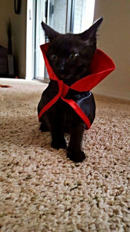 2ee48b6b16bab6fd23dda66a145d2668 Оригинальные наряды на Хэллоуин для кошек (41 фото)