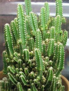 Fairy Castle Cactus - Acanthocereus tetragonus 'Fairy Castles' is a dwarf, columnar, branching, slow growing cactus with spiny, five-sided, mid-green stems...