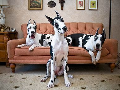 great danes: Puppies, Couch, Friends, Harlequin Great Danes, Pets, Beautiful Dogs, Popular Pin, Big Dogs, Animal