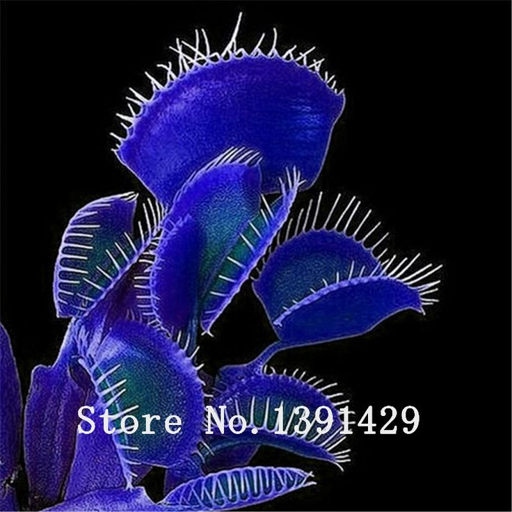 HOT Sale100PCS In Vaso blu Insettivori Pianta Dionaea Muscipula rare Venere Acchiappamosche Semi bonsai