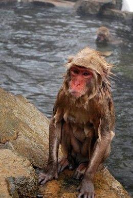 Shivering monkeys