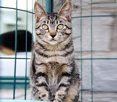 I want one! The Chinese Li Hua Cat! :) im from philippines and lots of cats in here looks like this..or i say the same... i will show pics and please tell me if my cat is a chinese li hua