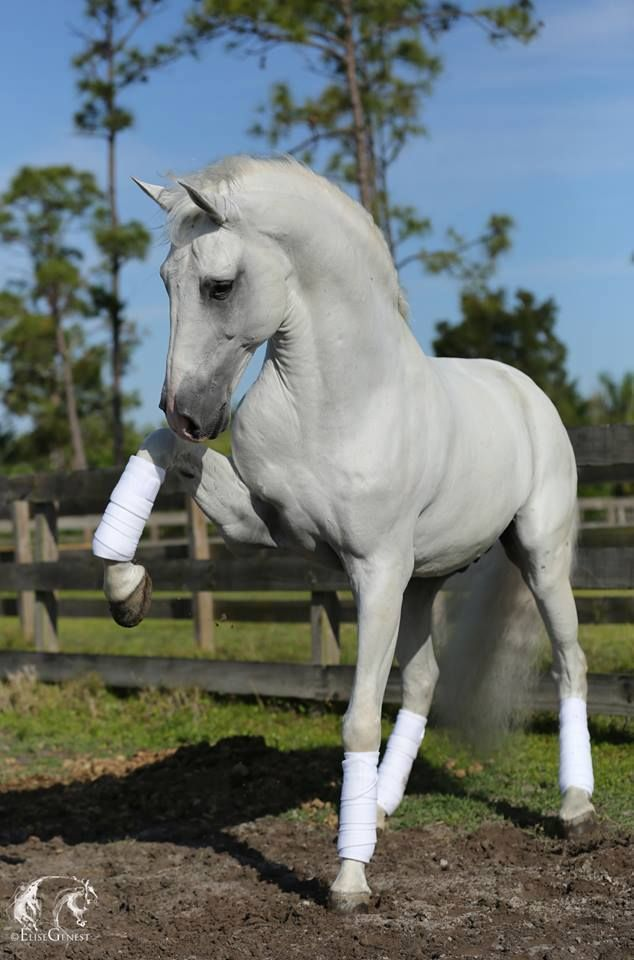 beautiful lipizzaner