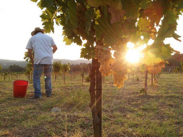 Harvest of Xinisteri | by Fikardos Winery