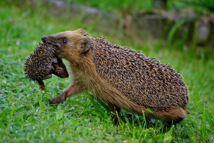 NEVER THOUGHT ABOUT HOW HEDGEHOGS MANAGE TO CARRY THEIR YOUNG, OR IF THEY CARRIED THEM AT ALL, HOW THEY NEVER GET PRICKLED