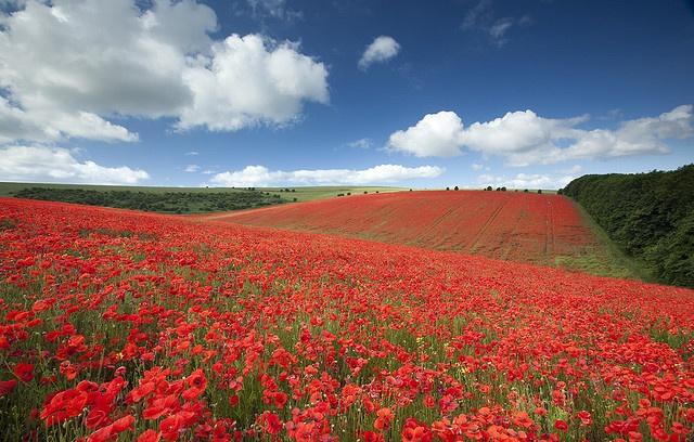 poppy field, salisbury, wiltshire, by Antony Spencer
