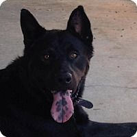 Pictures of Logan a Akita/German Shepherd Dog Mix for adoption in Morganton, NC who needs a loving home.