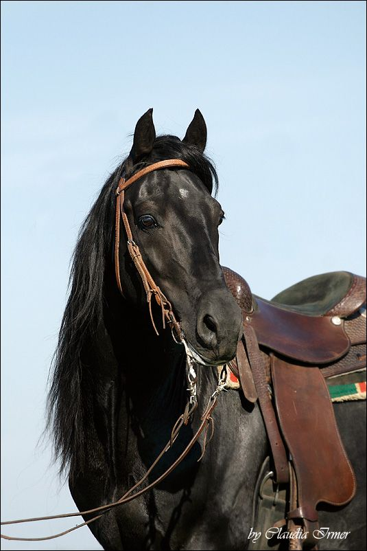 Morgan Horse - by Claudia I.