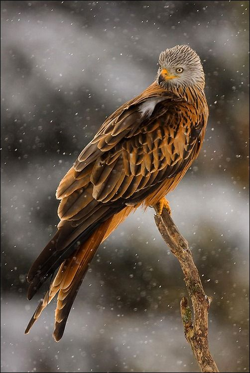 - a hawk - a beautiful Red Kite (milvus milvus). The lucky Europeans, and people in the United Kingdom, Ireland and that area of the world who get to see this beautiful, agile bird of prey. This particular photo was taken during a snow fall in Sweden by Henrik Just. Well done.
