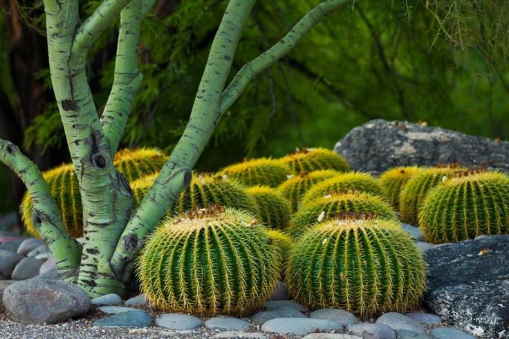Tucson AZ- Golden Barrel Cactus