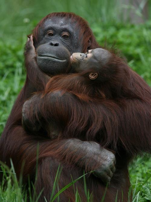 Orangutans:- Mum and Baby.