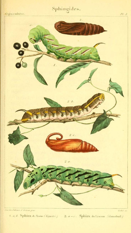 gravures chenilles papillons de nuit - gravure chenille coque chrysalide papillon nocturne 0017 sphinx du liseron - convolvuli - Gravures, illustrations, dessins, images