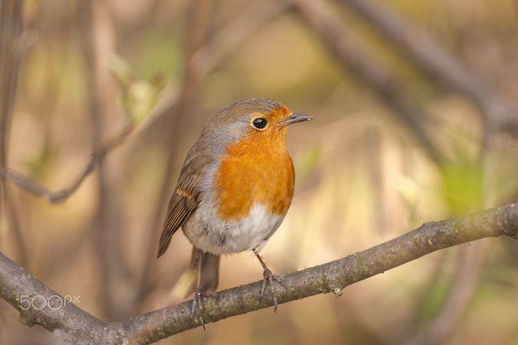 European Robin - http://www.wildlifenature.eu/Galeria_c-4