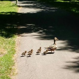 Why did the ducks cross the road? They had a reservation at the University Club.